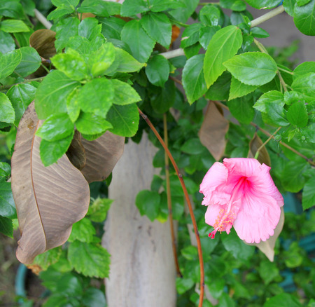 gynoecium: Chinese rose flower or hibiscus rosa sinensis