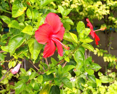 gynoecium: red Chinese rose flower or hibiscus rosa sinensis Stock Photo
