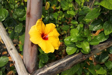 gynoecium: yellow Chinese rose flower or hibiscus rosa sinensis