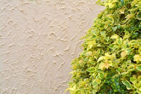 l natural: Plectranthus scutellarioides (L.) R.Br., LABIATAE (LAMIACEAE) Flame Nettle, Painted Nettle bush plant decorated in tropical climate garden and rough concrete wall background Stock Photo