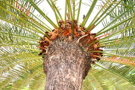 clima tropical: helecho arb�reo c�cadas en el jard�n clima tropical Foto de archivo