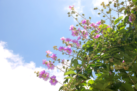 pers: Lagerstroemia speciosa (L.) Pers. Lythraceae, Jarul, Pride of India, Pyinma, Queens flower, Queens crape myrtle