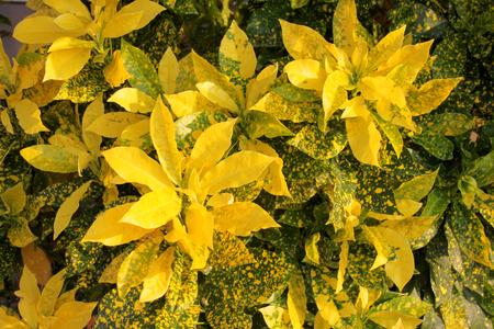 clima tropical: varicgatum Codiaeum, planta arbusto de color amarillo en el jard�n decorado clima tropical Foto de archivo