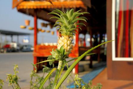 cultivated: Ananus comosus cv.Variegatus or cultivated pineapple