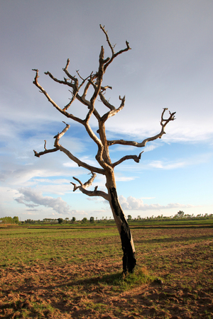 deadwood: Northeast Thai deadwood and dry tree with thick branches in hot arid ground and dryness Stock Photo