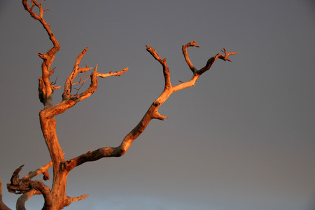 dryness: Northeast Thai deadwood and dry tree with thick branches in hot arid and dryness Stock Photo