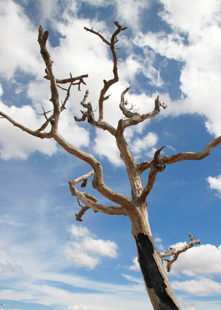 deadwood: Northeast Thai deadwood and dry tree with thick branches in hot arid and dryness Stock Photo