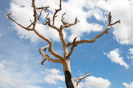 Northeast Thai deadwood and dry tree with thick branches in hot arid and dryness Stock Photo