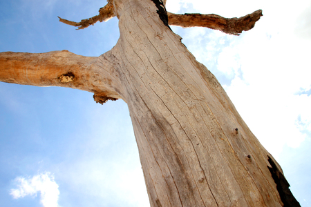 Northeast Thai deadwood and dry tree stem with thick branches in hot arid and dryness against blue sky