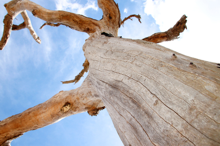 waterless: Northeast Thai deadwood and dry tree stem with thick branches in hot arid and dryness against blue sky