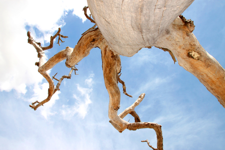 deadwood: Northeast Thai deadwood and dry tree stem with thick branches in hot arid and dryness against blue sky