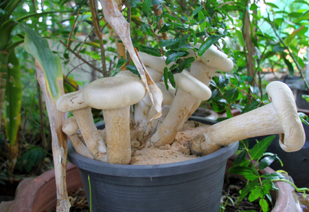plant pot: edible mushrooms in plastic plant pot at home garden