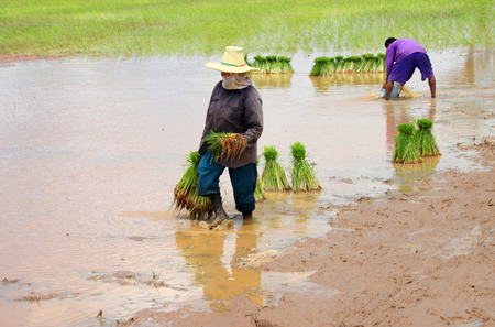 assiduous: farmer is holding young sticky rice sprouts for planting in farmland