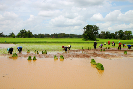 mahasarakham: YANGSRISURAT, MAHASARAKHAM - JULY 11 :  Prepared sticky rice sprout bundles are cultivated with traditional method by farmers on July 11, 2016 in Yangsrisurat, Mahasarakham, Thailand. Editorial