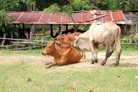 barnyard: local Thai native cow in barnyard