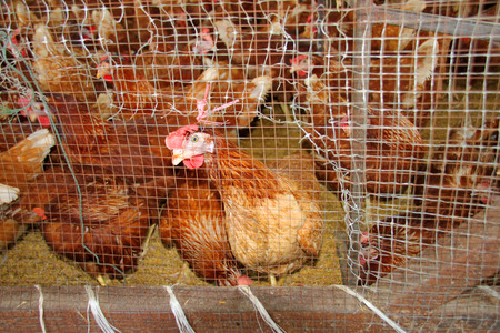 pullets are captured in the cage in poultry farm Stock Photo
