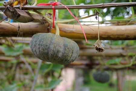 hung: pumpkin growing in tropical organic vegetable garden of rural Thailand