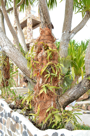 expansive: orchids on Dracaena loureiri Gagnep or Jan pha in Thai language. It is wild plant and ornamental expansive tree for garden Stock Photo