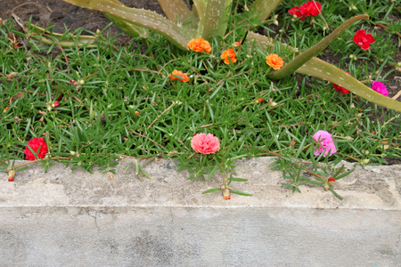 Little Hog weed flowers in home garden