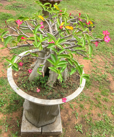 Adenium obesum dwarfed tree cultivated in home garden