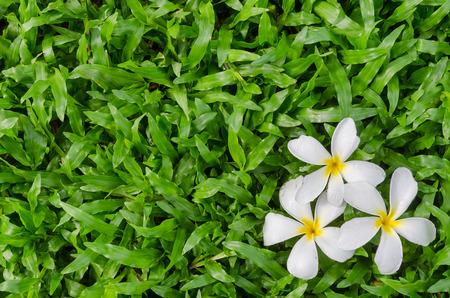 leelawadee: Leelawadee or Plumeria, tropical flower on Tropical Carpet Grass field