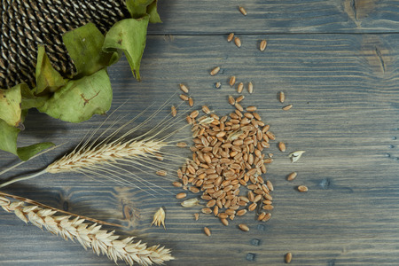 Ripe sunflowers seeds on the flower head and golden ears of wheat with loose raw seeds on a rustic wood background in a healthy nutritious diet concept 免版税图像