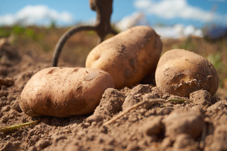 Fresh harvested potatoes and garden fork on the field, dirt after harvest at organic family farm. Workers work on the field. Close up and shallow depth of field