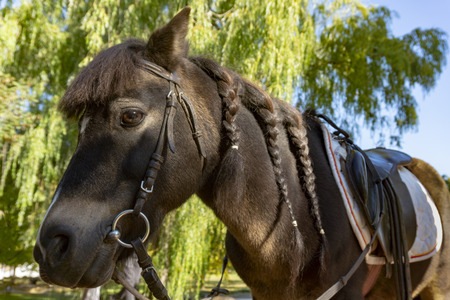 Dark brown horse with neatly trimmed and plaited mane wearing a bridle and saddle for horse riding in a close pup cropped view outdoors in a pasture