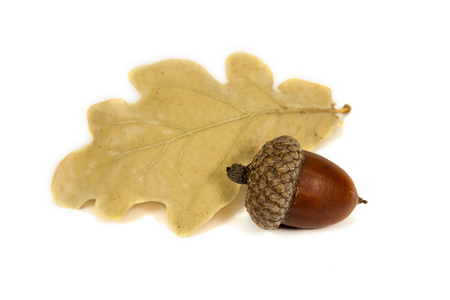 Dried acorn with oak leaf isolated on white close up Stockfoto