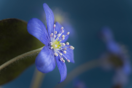 Close-up of blue Hepatica Nobilis, early blooming spring plants, shades of blue color with copy space