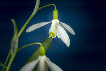 Close-up of Galanthus nivalis or common snowdrop on a blue background, early blooming spring plants