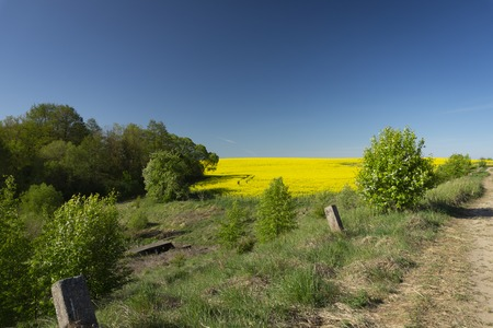 View along a farm road of flowering yellow canola, rapeseed or colza under a clear sunny blue spring sky Standard-Bild