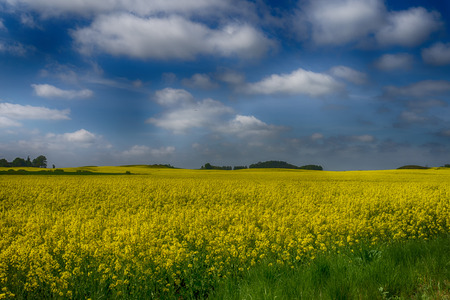 Flowering field of bright yellow rapeseed, canola or colza under a sunny blue sky and clouds