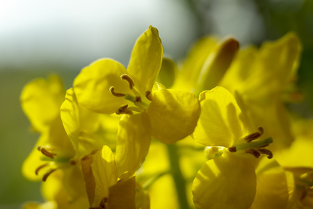 Close up of bright yellow rape seed, canola or colza flowers growing in an agricultural field