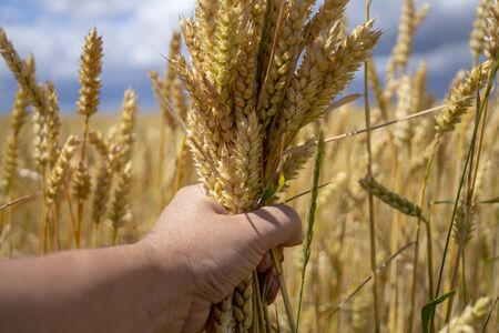 Man grasping a handful of ripe ears of golden wheat holding it in front of a wheat field ready to be harvested as a foodstuff, livestock feed or biofuel Stockfoto