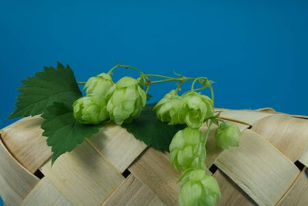 Fresh branch of hops on a tipped wicker basket against a blue background