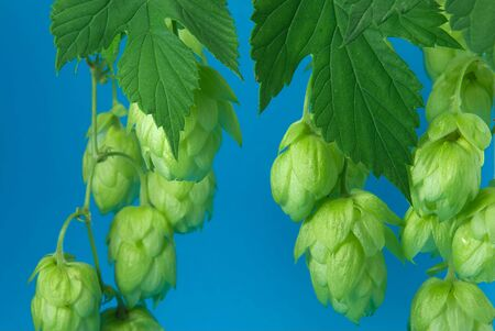 Fresh branch of hops (Humulus lupulus) against a blue background Banco de Imagens