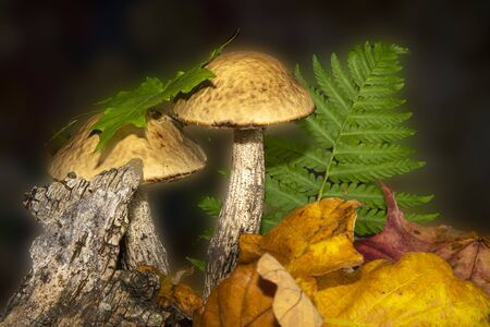 Two birch bolete mushrooms in an autumn forest in a low angle view past a colourful yellow fallen leaf with background copy space conceptual of the seasons 스톡 콘텐츠