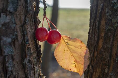 Ripe red crab apples hanging from a tree in autumn with the yellow leaf backlit by the sun in a close up view conceptual of the seasons Standard-Bild