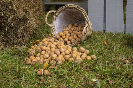 Fresh harvest walnuts in shells spilling from a rustic woven basket on a grass in front of a grey wooden fence
