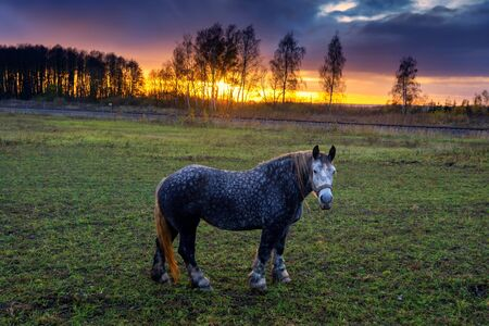 Dappled grey horse wearing a harness standing in a pasture looking at the camera at sunset with trees silhouetted against an orange sky Stockfoto