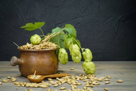 Branch of fresh hops on the plant and a container of barley seeds in a concept of making homemade or artisan beer
