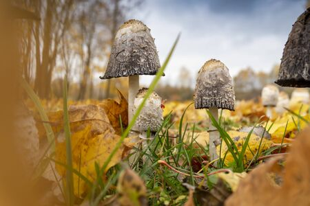 Several mushrooms growing in autumn in closeup view from low angle, among green grass and withered leaves on the ground. Trees and blue sky is in background