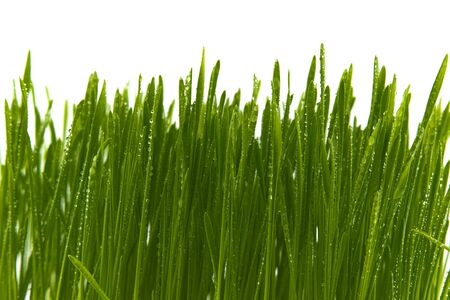 Blades of fresh green spring grass with raindrops or dew drops glistening on the leaves against a white background