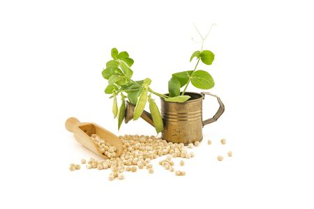 Chickpea food still life with fresh plant with pods in a small watering can and dried peas spilling from a wooden scoop isolated on a white background