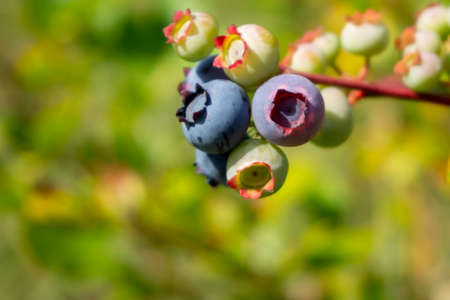 Ripening blueberrys in a cluster on a bush outdoors in summer sunshine in close up with copyspace 版權商用圖片