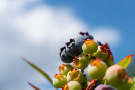 Ripening blueberrys in a cluster on a bush outdoors against a blue sunny sky with feathery white clouds with copy space