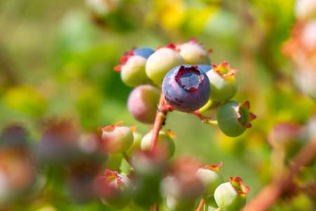 Single ripe blueberry in a cluster or ripening berries on a bush outdoors in summer sunshine in close up with copyspace 版權商用圖片