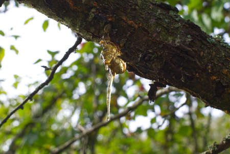 Sap or resin oozing from an injured tree branch with damaged missing bark in a woodland or garden setting in close up 스톡 콘텐츠