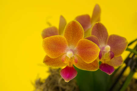 Flower beautiful pink orchid - phalaenopsis against yellow background 스톡 콘텐츠